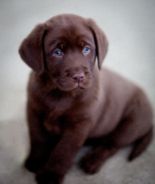 Chocolate English Labrador | Flickr - Photo Sharing!