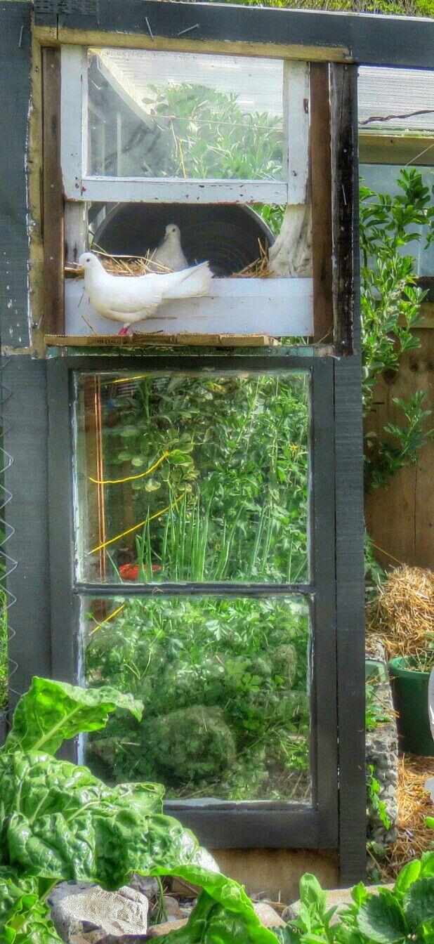 Doves nesting in the glass house