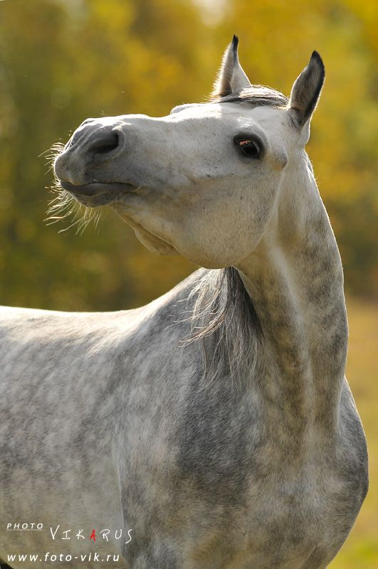 Arabian Rescue Horses for Adoption  Equine Now