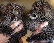 "7 wk. old baby leopards, Arjuna & Sri Kandi at their ""official"" presentation at the Tierpark Zoo in Berlin. Can I have one?????????????"