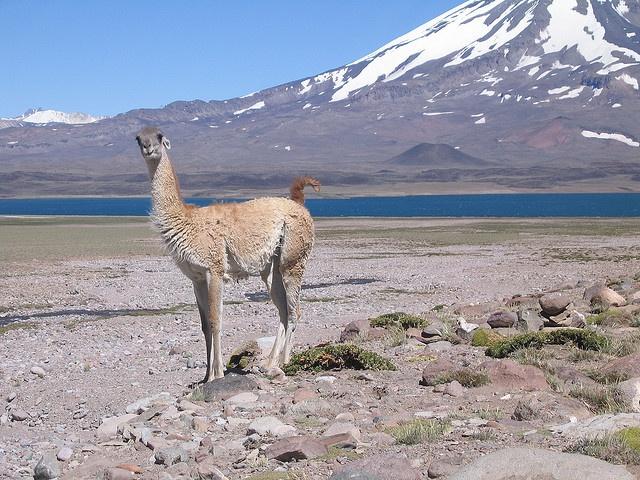 Llama, Mendoza, Argentina. Villavicencio