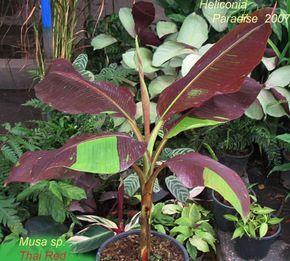 "Musa sp. "" Thai Red"" - red variegated ornamental Banana - Musaceae"