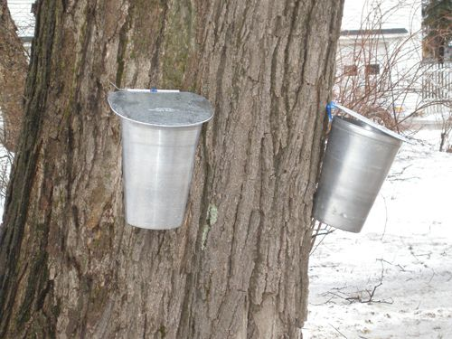 The University of Maine - Cooperative Extension Publications - Bulletin #7036, How to Tap Maple Trees and Make Maple Syrup