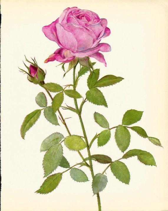 57 best Vintage Rose Prints - UpcycleFarmer on Etsy images on ...