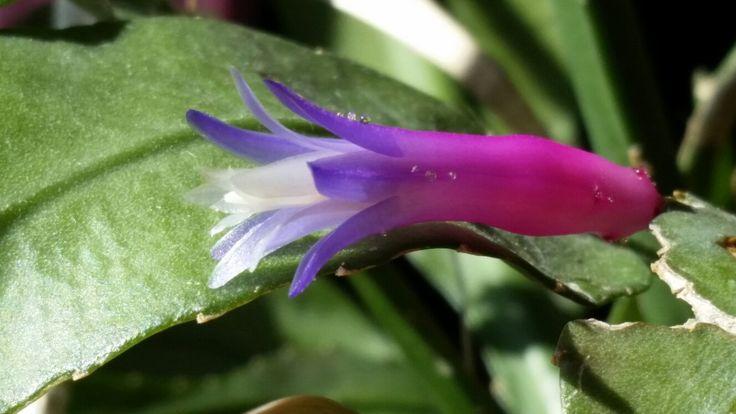 Disocactus Amazonicus
