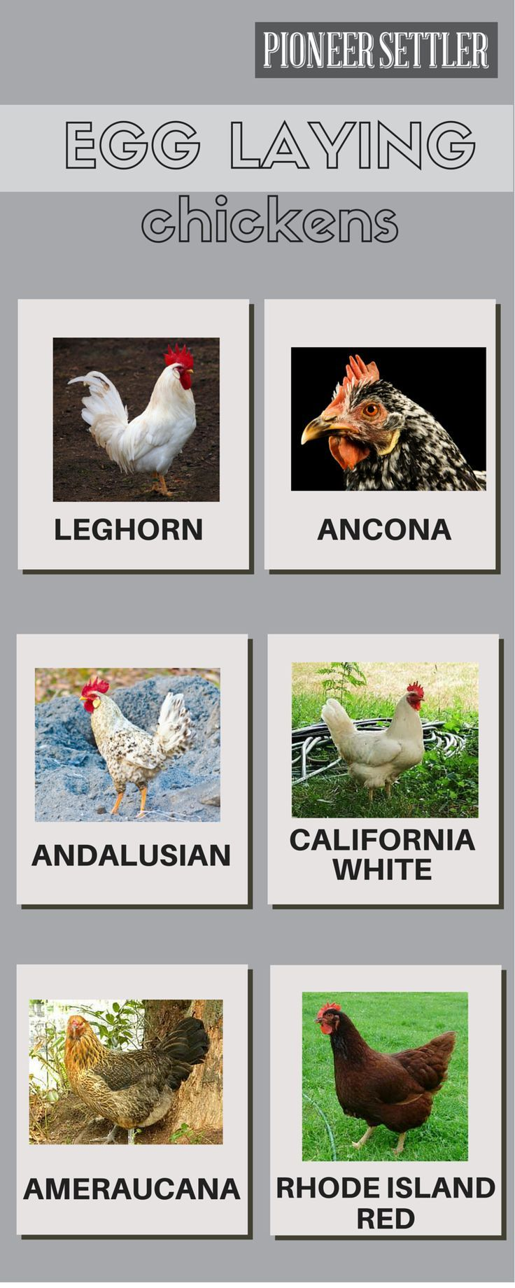 Types of Egg Laying Chickens