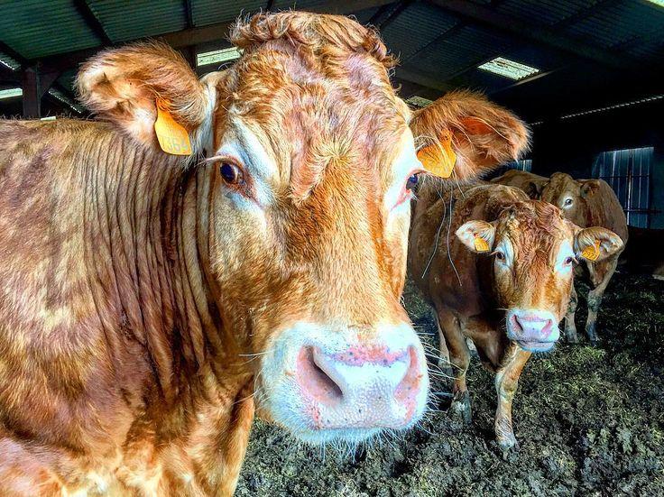 Dad's neighbours #cows #limousin #travel #travelphotography #france #farm http://tipsrazzi.com/ipost/1505158381516631428/?code=BTjZZLFAC2E