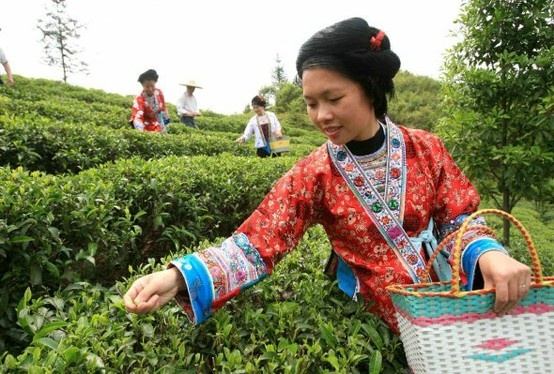 Chinese tea pickers