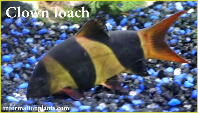 سمكة الزينة كلون لوتش Clown Loach سمك زينة انواع الاسماك معلومان عامه معلوماتية نبات حيوان اسماك فوائد Clown Loach Fish Pet Animals