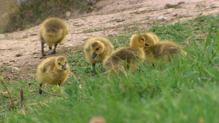 Gosling season in Calgary: How to avoid the wrath of overzealous parents