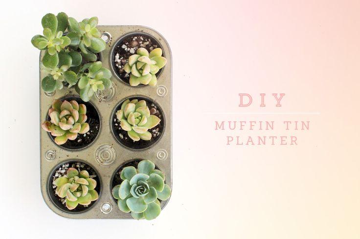 succulents in a muffin tin