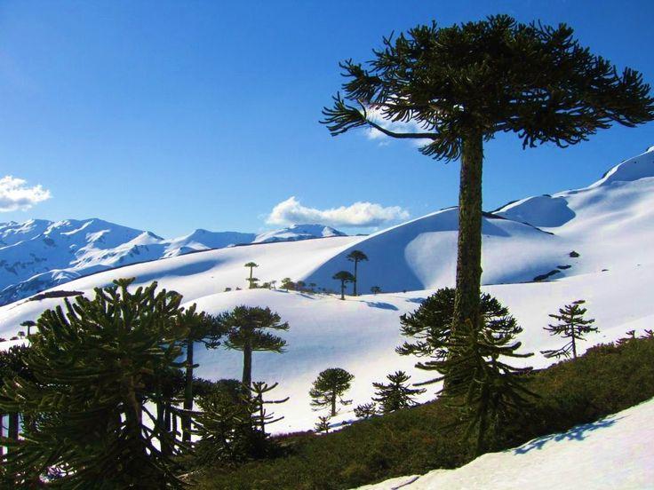 Araucarias in the Andes  Región de la Araucanía