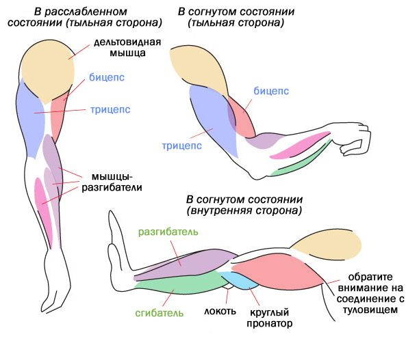 Основы человеческой анатомии: мышцы и другие ткани тела
