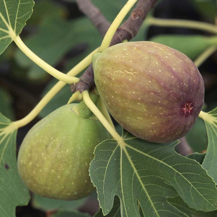 1000+ Images About FIGs On Pinterest