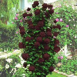 Дом и Сад - Роза плетистая Черная королева