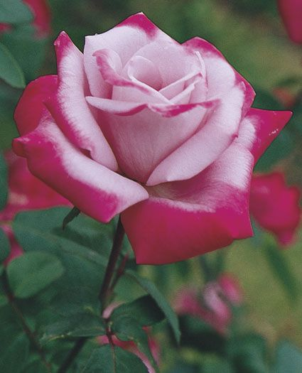JP: Paradise (Angel Face) - Medium Lavender Brushed Ruby Hybrid Tea Roses