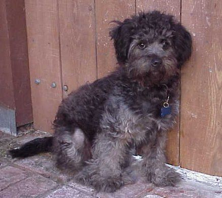 schnoodle haircuts - Google Search | Animals | Pinterest