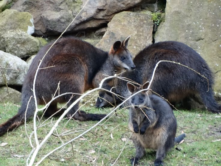 Some wallabys sitting together - Wildlands Adventure Zoo Emmen - 04-03-2017 By Tjaard Polet