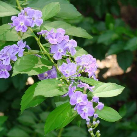 Skyflower Duranta Erecta Common Names: Golden Dew Drop, Pigeon Berry, Brazilian Sky Flower Light: Full Sun/Part Shade Height: 5′ – 15′ Spacing/Spread: 4′ – 8′ Ev…