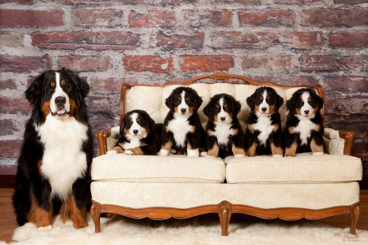 http://igg.me/p/252736?a=1610609 Cody and his first litter.    Road to the National Dog Show Championship    Be a part of the show! Follow MahaRaja Bernese Mountain Dogs on the road to the top 20 and AKC 2013 National Championship.  Help us get there by sharing our crowdfunding campaign!    http://igg.me/p/252736?a=1610609