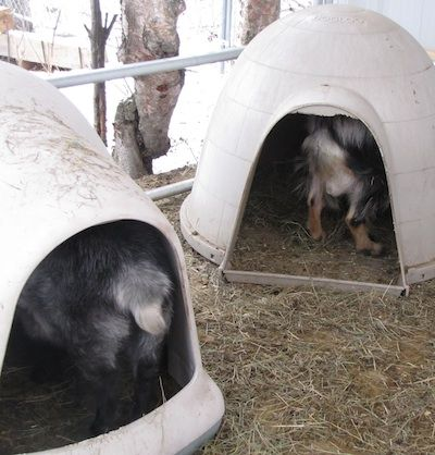 """Goat owners are always looking for a better way, especially if the better way can save some dollars. I believe the """"dog igloo house"""" ma..."""