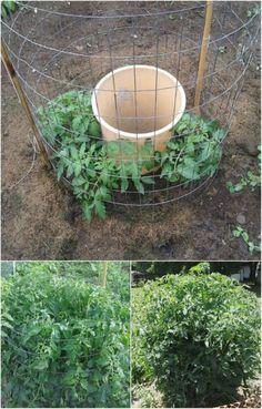 Regar los tomates de la manera correcta.