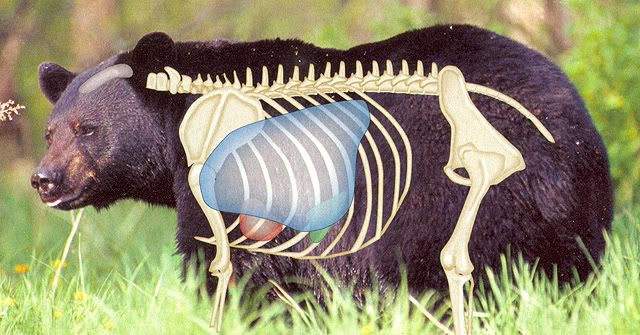 Anatomy of a black bear