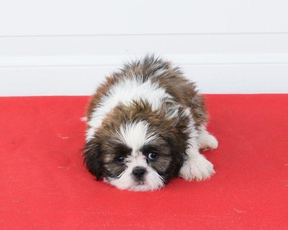 T Jay Shih Tzu Puppy 575872 Puppyspot Shihtzu Shih Tzu Puppy Shih Tzu Puppies