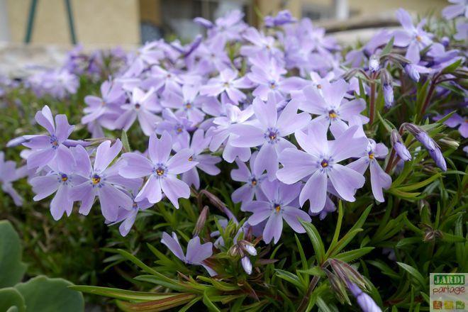 Les 20 meilleures id es de la cat gorie vivaces couvre sol sur pinterest couvre plantes - Vivace couvre sol longue floraison ...