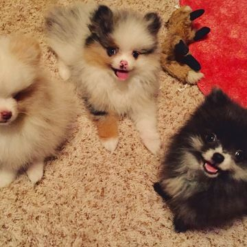 blue merle pomeranian puppies for sale 25 best ideas about blue merle pomeranian on pinterest 8918