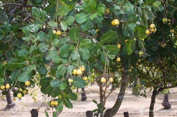 La pomme de cajou | Ces fruits, à la couleur jaune ou orangée, et dont la forme rappelle ...