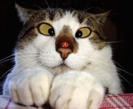 images of cats noses | Cat with a funny face looking at lady bug on nose.jpg