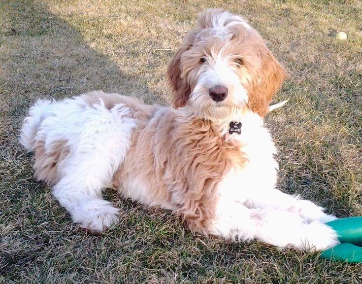 Niagara Dog Rescue Puppies