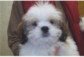 shih tzu rescue sacramento 13 best images about shih apso cuties on pinterest 5362