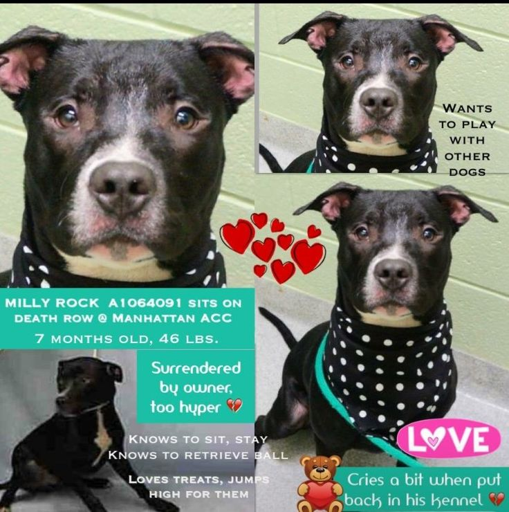 RETURNED 7/10/16 STRAY!! RTO SAFE 2-20-16 Manhattan Center MILLY ROCK – A1064091 MALE, BLACK / WHITE, AM PIT BULL TER MIX, 7 mos OWNER SUR – AVAILABLE, NO HOLD Reason TOO HYPER Intake condition EXAM REQ Intake Date 01/31/2016, From NY 10457, DueOut Date 01/31/2016, http://nycdogs.urgentpodr.org/milly-rock-a1064091/