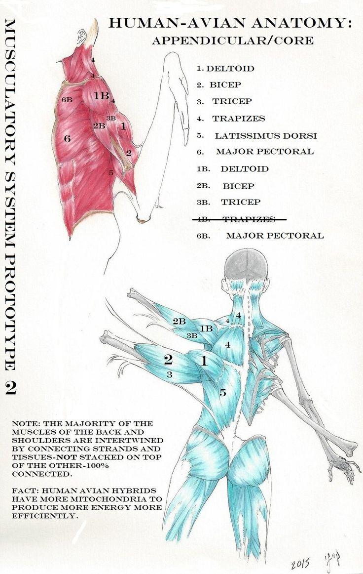 HumanAvian Anatomy: Armsvs.Wings Prototype 2 by MaximWolf.deviantart.com on @DeviantArt