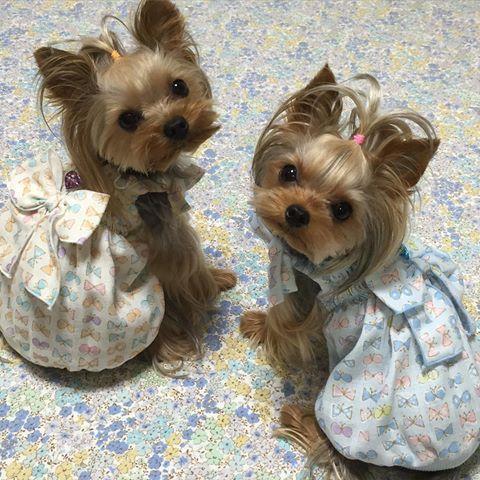 これもシャーリングワンピです。ハワイアンワンピと同じ形ですが、ガーゼ生地なので 雰囲気が柔らかい感じです  今晩少しですが出品予定です  #いちごみるく#ヨーキー#ヨークシャテリア#YorkshireTerrier#yorkie#today#handmade #手作り#犬服#洋服#犬の洋服#愛犬#dog