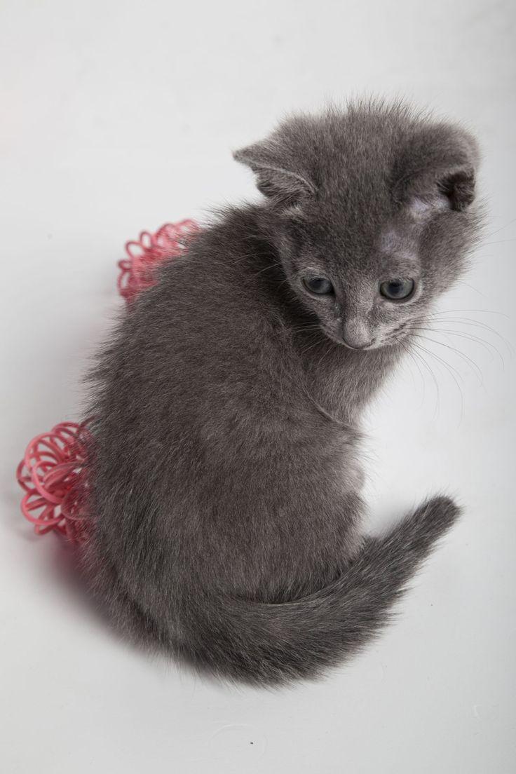 Дарс - котенок русской голубой породы Russian blue kitten Dars