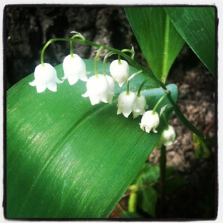 Lily of the Valley, right near our Dacha's front porch, May 2012