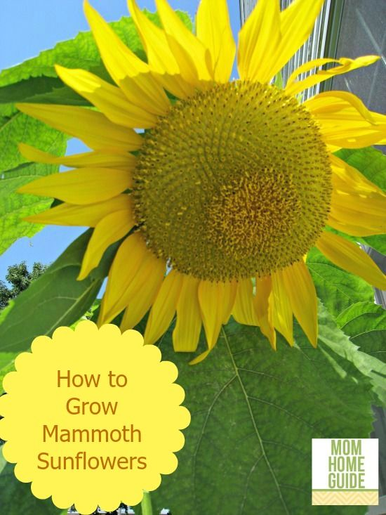 How to grow MAMMOTH sunflowers -- these are huge and beautiful! I love these flowers!!!