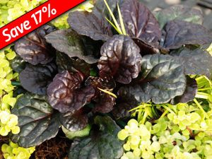 Ajuga Black Scallop is a deer proof evergreen groundcover for shade or sun