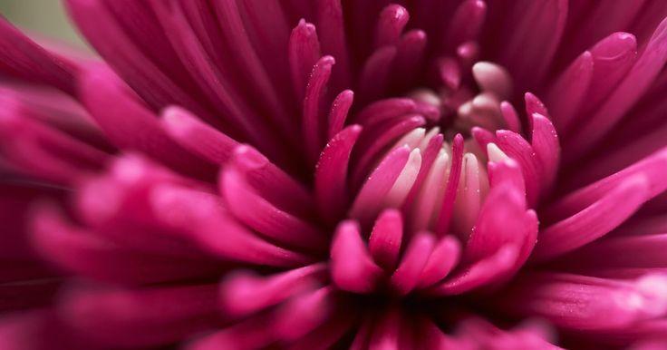 Cómo germinar semillas de crisantemos. Los crisantemos florecen a finales del verano y el otoño, proporcionando color al jardín, cuando otras plantas se encuentran en la última etapa de floración. Ya sea que cultives estas flores en canteros o en macetas de interior o exterior, usar las semillas es una opción económica para comenzar con plantas nuevas. No es común que los crisantemos ...