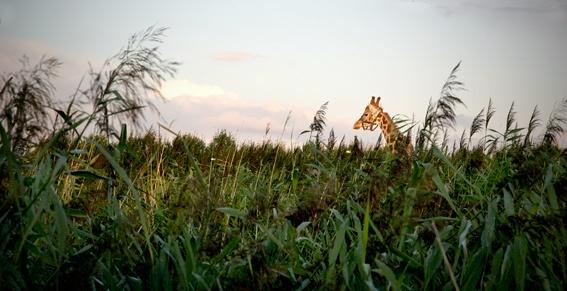 Giraffe op SITE2F7 voor natuurfilm van Frank Koolen.© Gert Jan van Rooij, Museum De Paviljoens