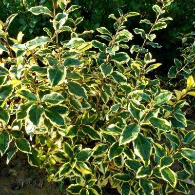Feuillage lumineux Avec son magnifique feuillage panaché, très lumineux, l'Eleagnus 'Giltedge' est parfait dans une haie persistante variée. Il peut être utilisé dans des massifs ou des haies taillées ou non. C'est un arbuste de forme compacte et arrondie, atteignant une hauteur de 2 à 3m pour une envergure de 1.5 à 2m. Le feuillage est persistant avec des feuilles coriaces et luisantes, largement marginées de jaune. La floraison de l'Eleagnus 'Gilt Hedge' donne de...