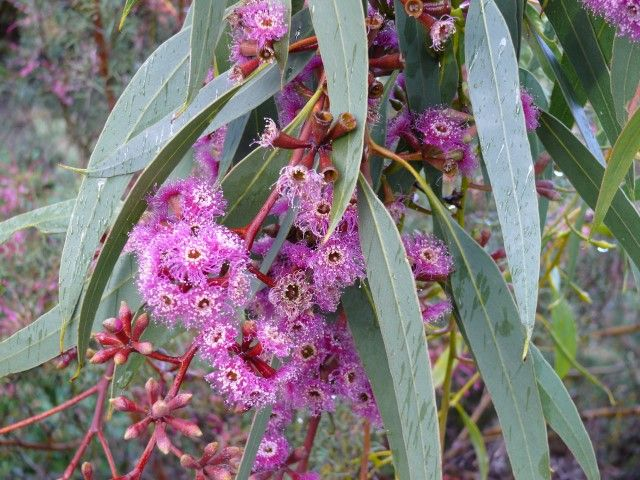 Eucalyptus Purple Patch --- For more Australian native plants visit austraflora.com