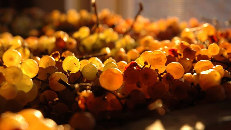 white grapes drying in Tommasi winery in Valpolicella #wine www.tommasi.com