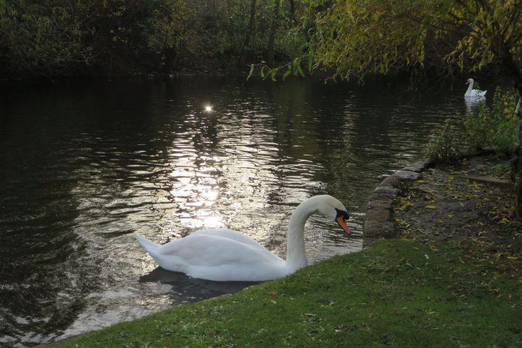 Cisne es el nombre común de varias aves anseriformes de la familia Anatidae. En ésta foto que la tomé en Londres podemos deleitarnos con el cisne vulgar (Cygnus olor), también llamado cisne mudo o cisne blanco,