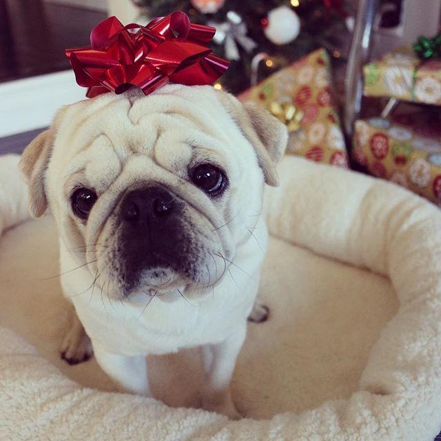 Merry Christmas White Pug Dog Diet Dog Food Recipes