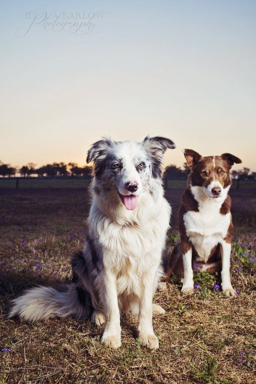 Cleo and Why - Merle and Chocolate Border Collies