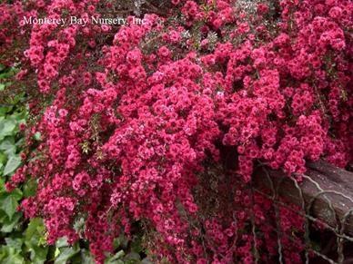 Leptospermum Ruby Glow